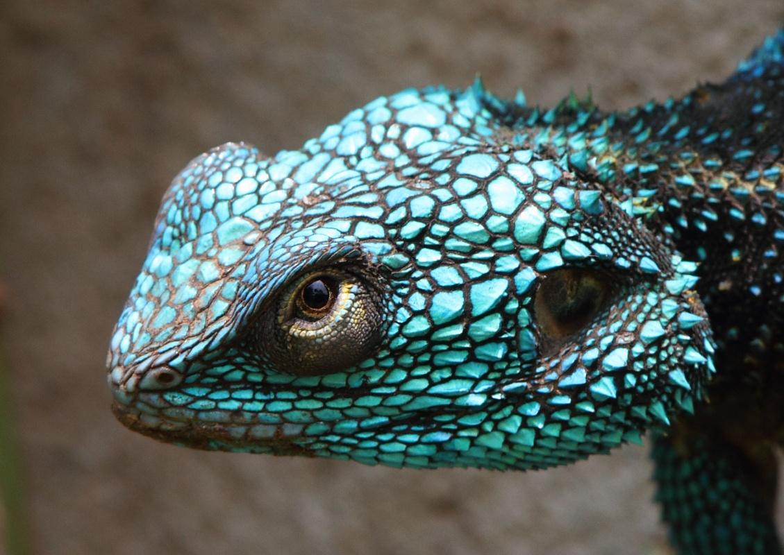 Blue-headed Tree Agama, Travel Africa, Africa Safari Guide, Luxury African Safari