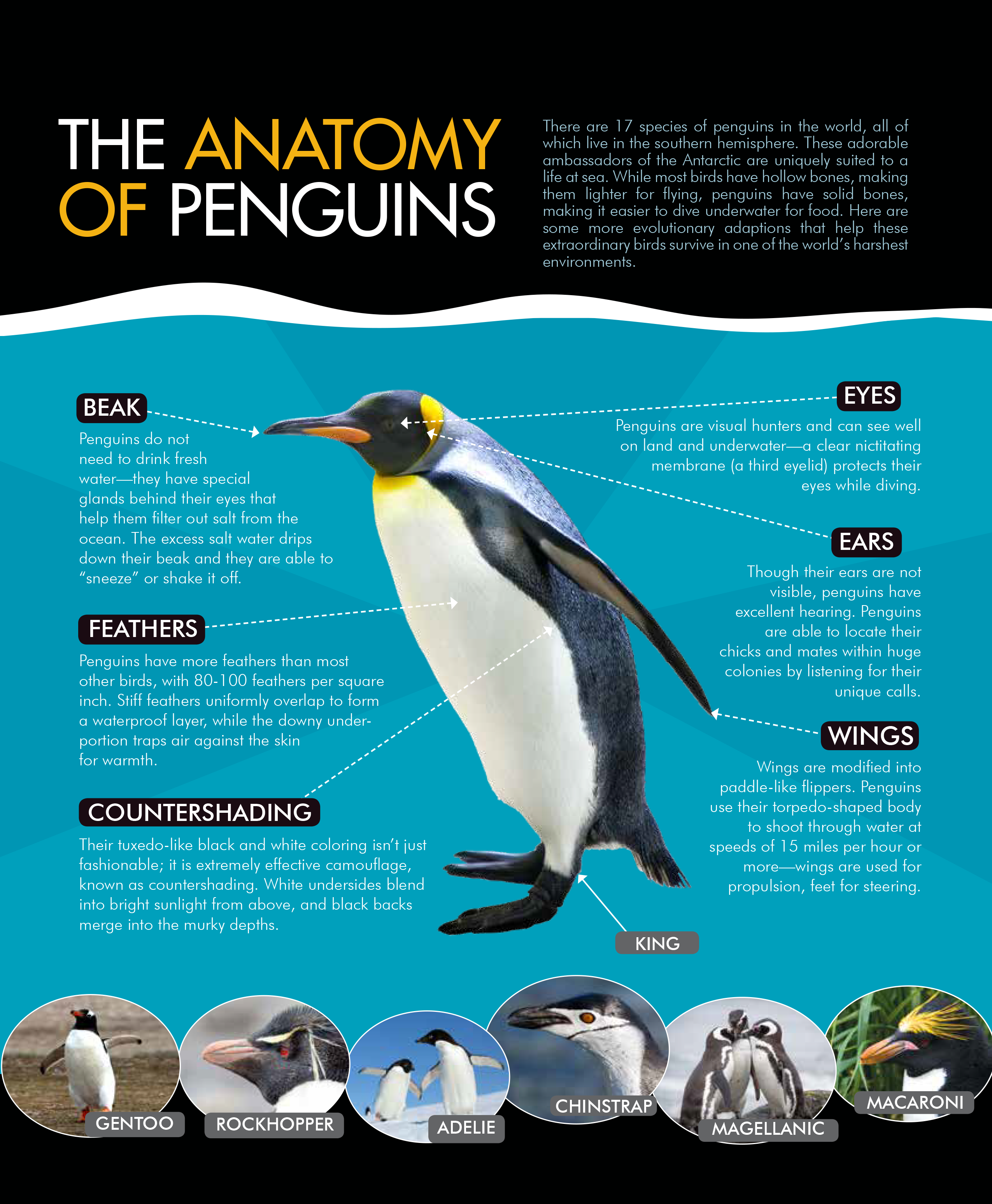 About Penguins - Antarctica Guide
