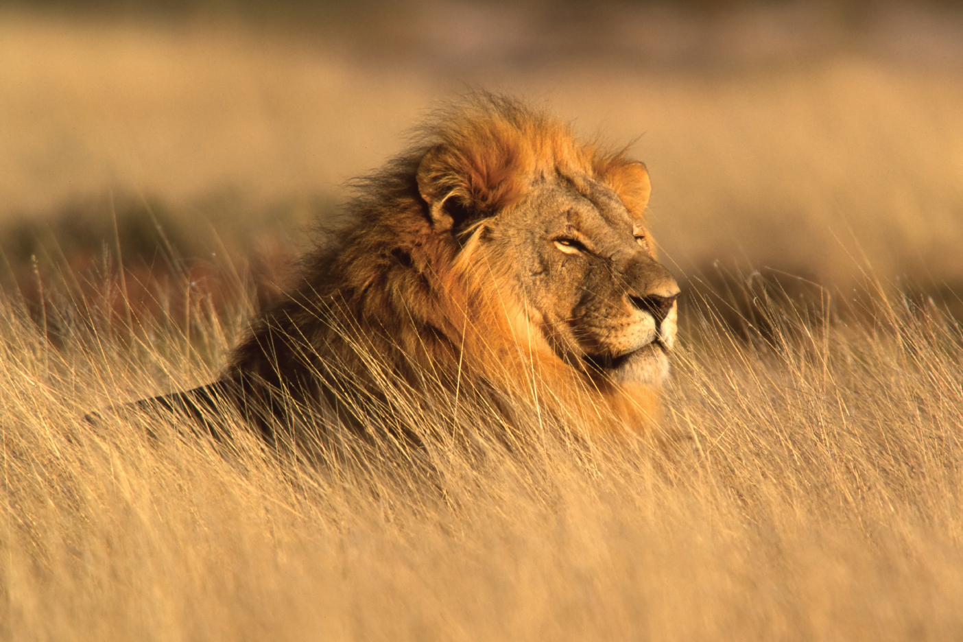 Africa Lion, Travel Africa, Africa Safari Guide, Luxury African Safari