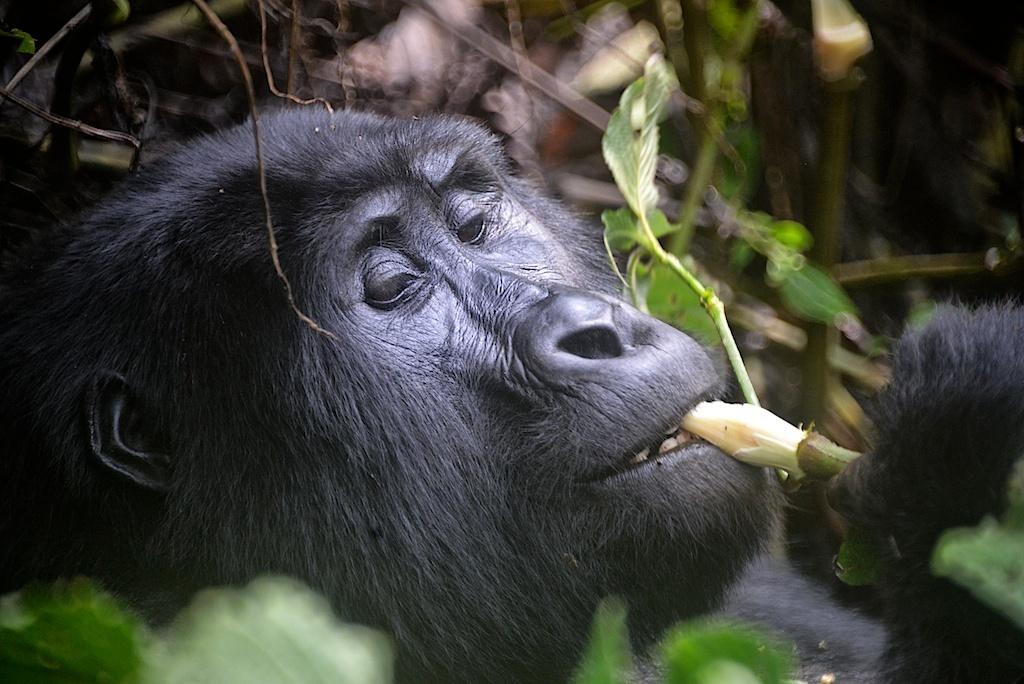 Mountain Gorilla, Travel Africa, Africa Safari Guide, Luxury African Safari