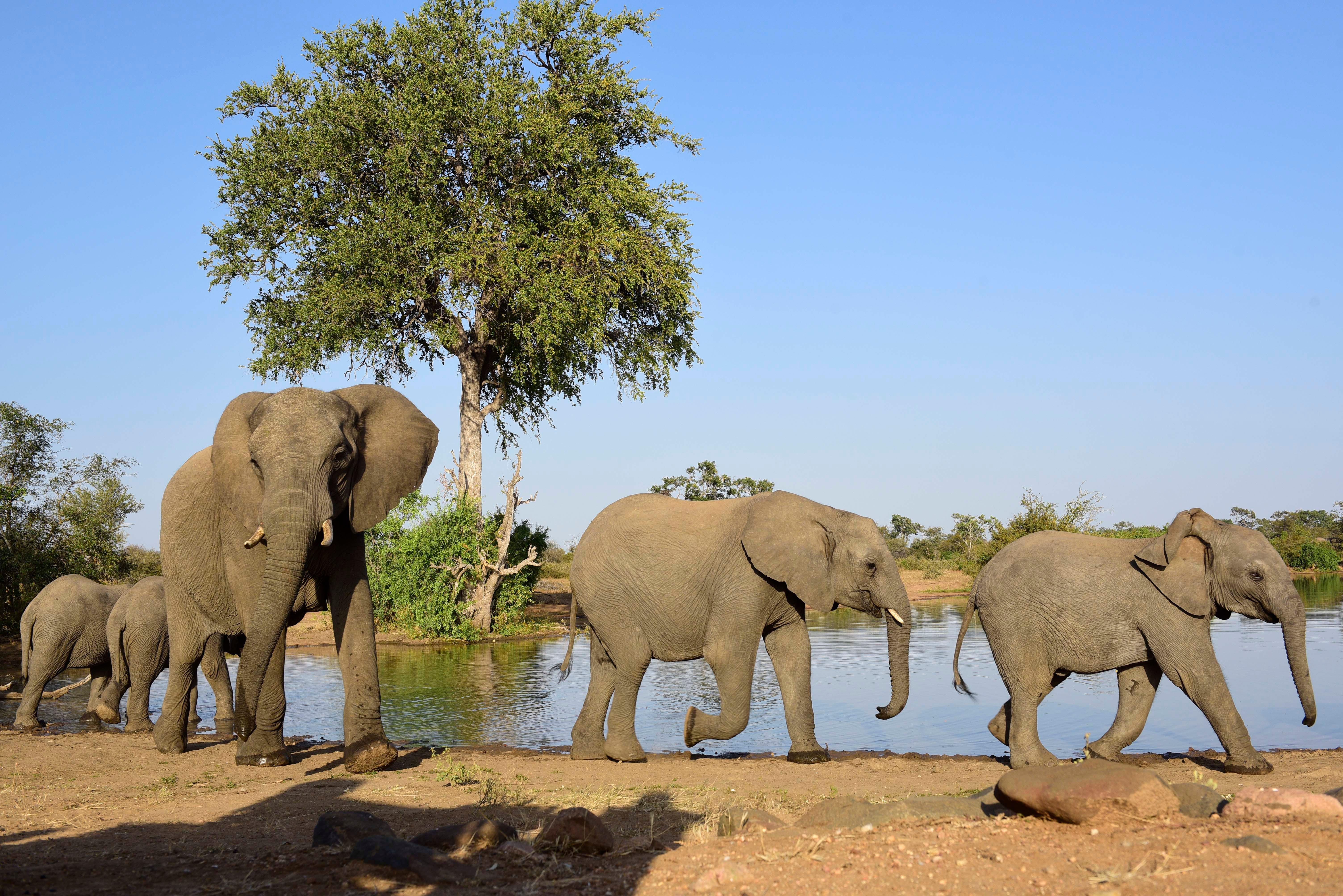 Elephants in Africa, Travel Africa, Africa Safari Guide, Luxury African Safari