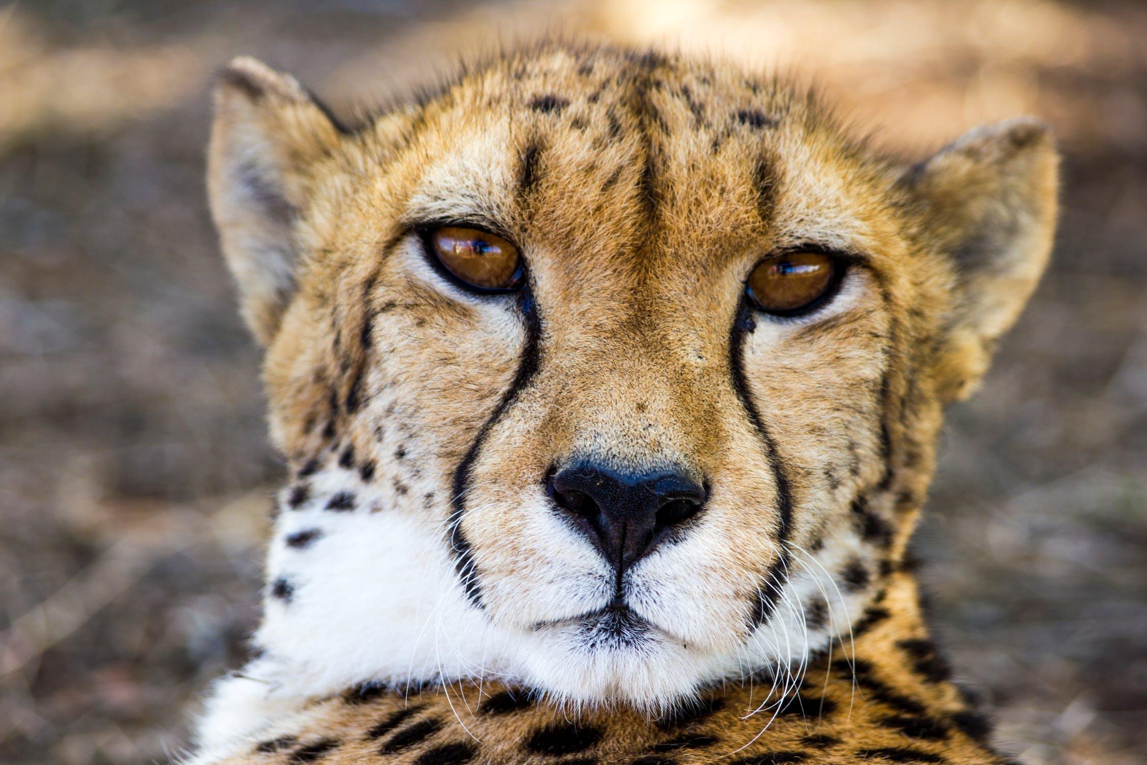 cheetah, Travel Africa, Africa Safari Guide, Luxury African Safari