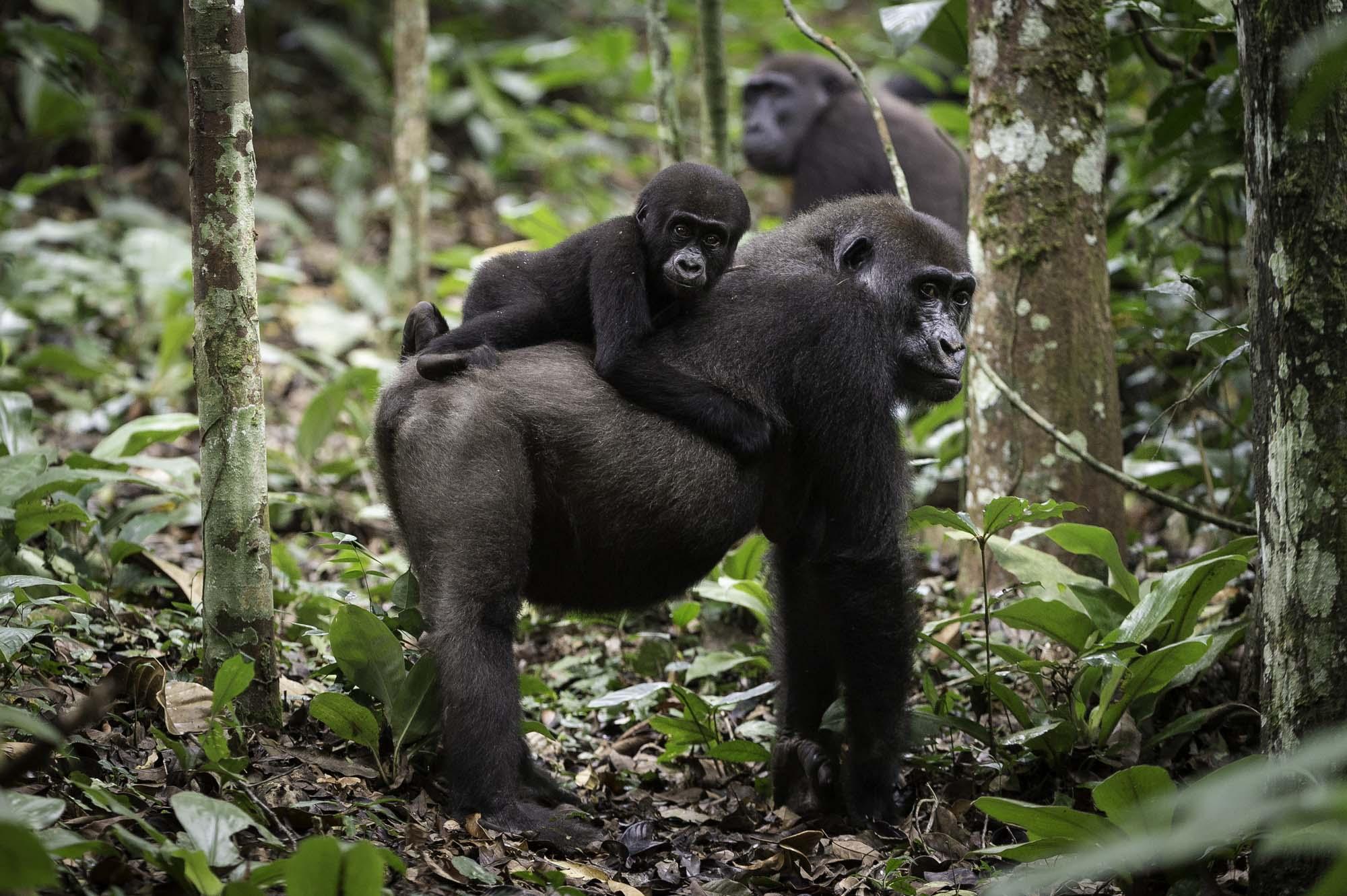 Gorillas in Africa,Travel Africa, Africa Safari Guide, Luxury African Safari