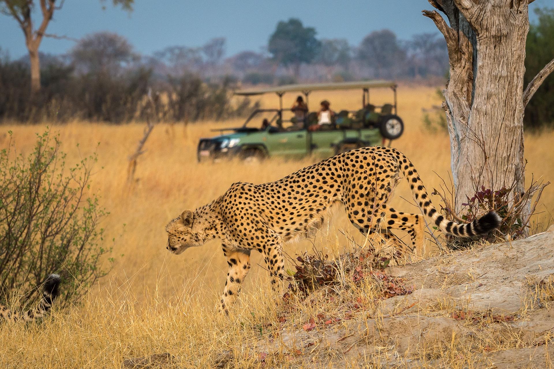 Cheetah in Africa, Travel Africa, Africa Safari Guide, Luxury African Safari