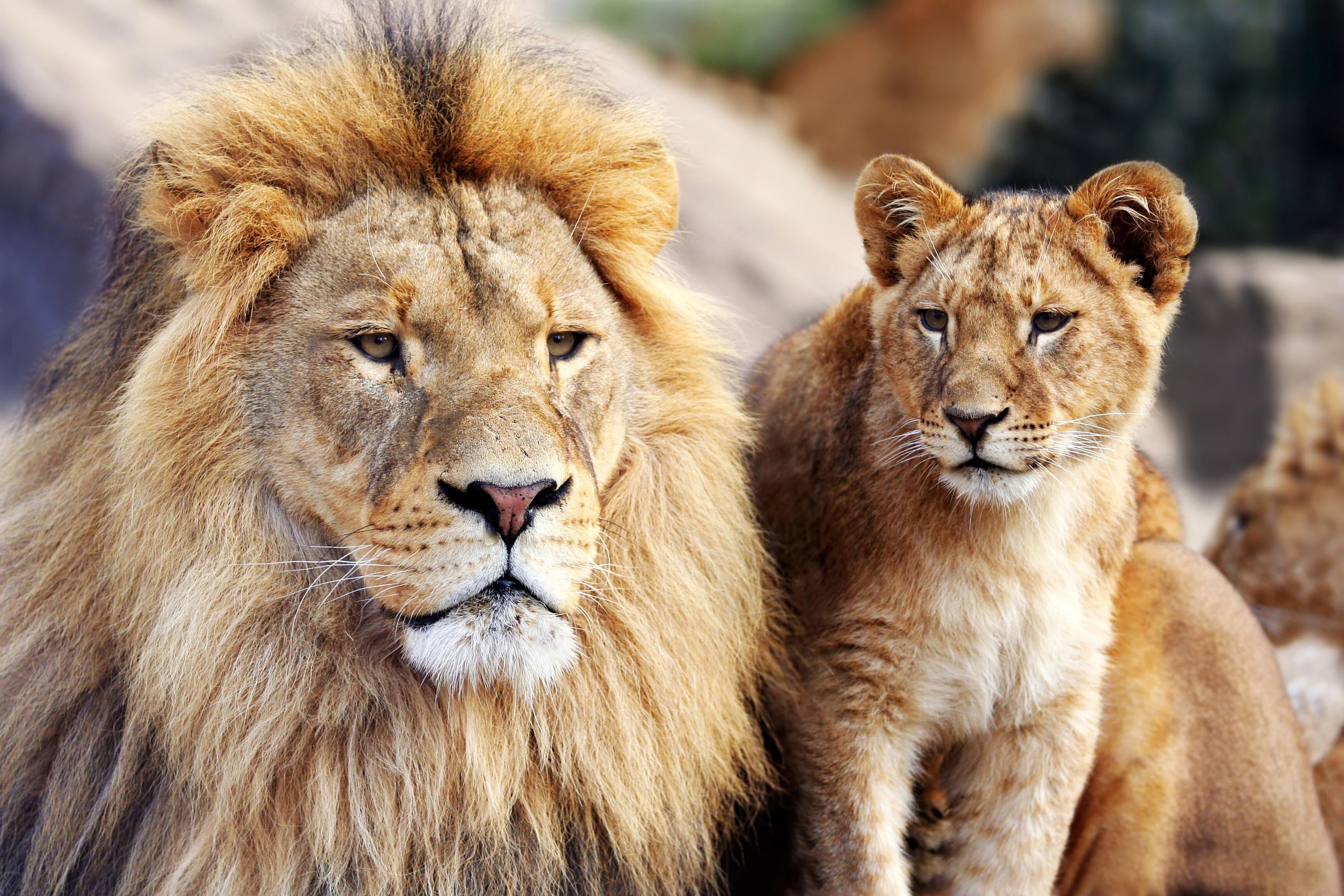 African big five, africa lions,Travel Africa, Africa Safari Guide, Luxury African Safari