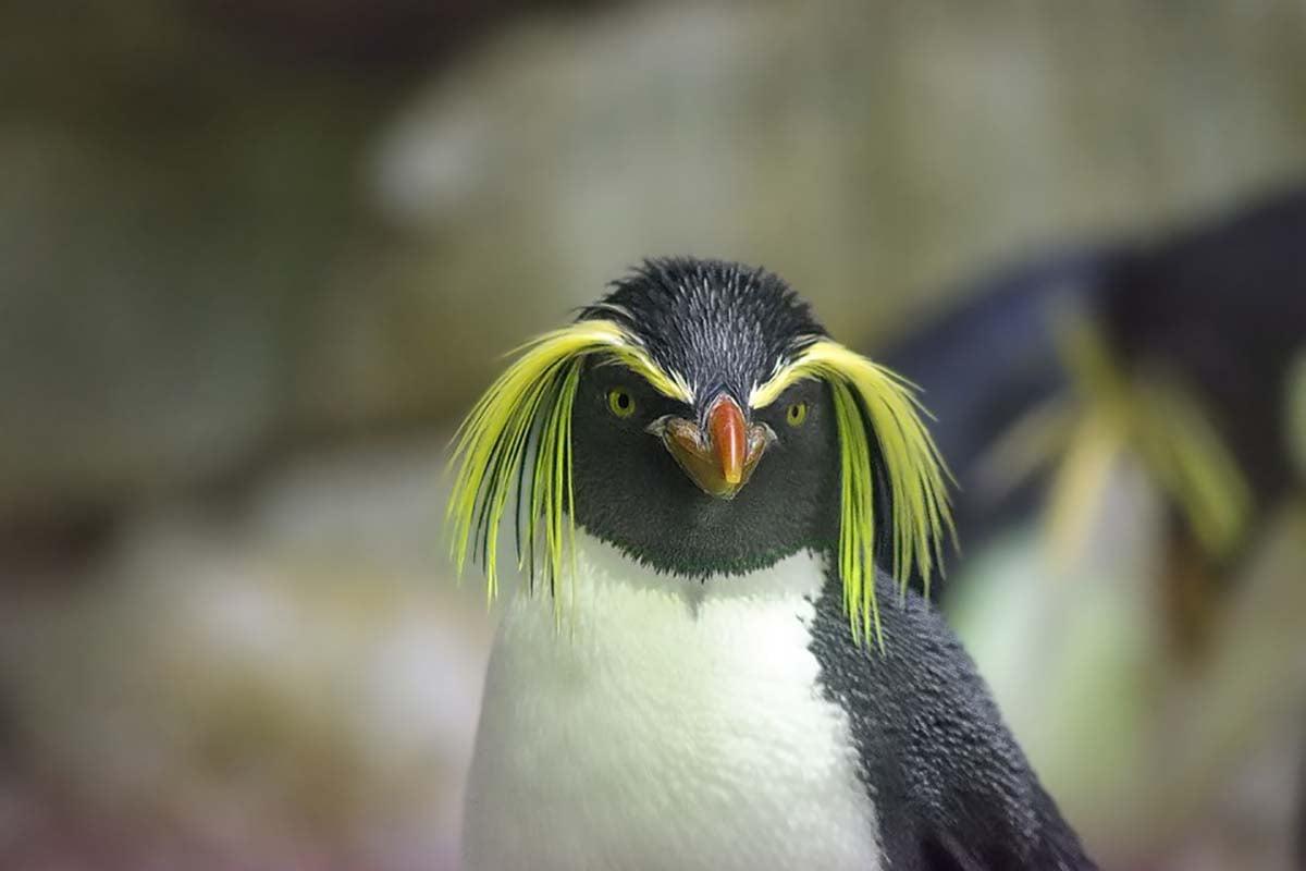 rockhopper penguin - Antarctica Cruise