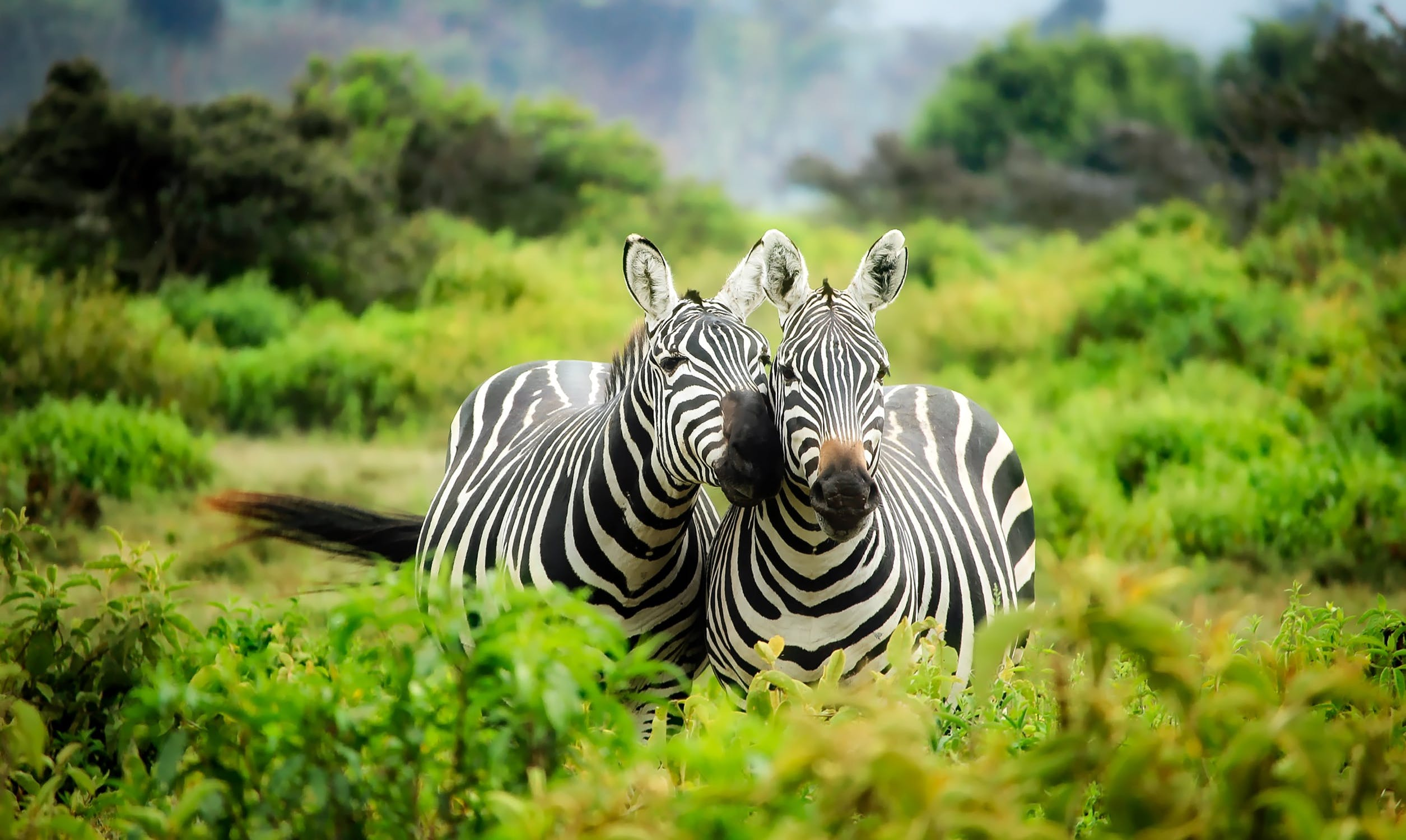 zebras, Travel Africa, Africa Safari Guide, Luxury African Safari